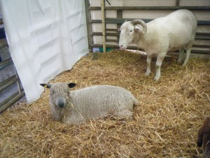 One ewe and one ram in a pen with straw